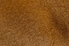 Struttura rossa dai capelli corti della pelliccia del gatto Fotografie Stock Libere da Diritti