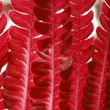 Struttura rossa della felce Immagine Stock