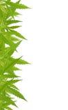 Struttura sativa della foglia della cannabis verde intenso fotografia stock libera da diritti