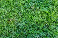 Struttura senza cuciture dell'erba verde Senza cuciture soltanto nei dimens orizzontali Immagini Stock