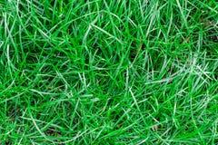 Struttura senza cuciture dell'erba verde Senza cuciture soltanto nei dimens orizzontali Immagine Stock Libera da Diritti