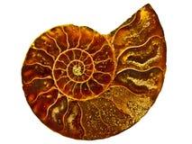 Struttura a spirale dorata dentro le coperture dell'ammonite Fotografia Stock Libera da Diritti