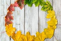 Struttura stagionale delle foglie di acero autunnali con colore di pendenza su fondo di legno bianco Fotografie Stock