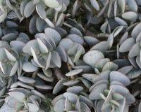 Struttura succulente Fotografia Stock Libera da Diritti