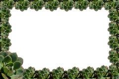 Struttura succulente della pianta fotografia stock libera da diritti