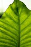 Struttura tropicale della foglia Fotografie Stock