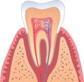Struttura umana del dente Immagini Stock