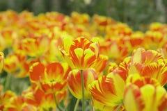 Struttura variopinta del fondo dei tulipani del giardino Fotografie Stock
