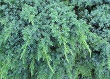 Struttura verdastra piacevole del pino Immagini Stock Libere da Diritti