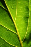 Struttura verde del foglio Immagine Stock