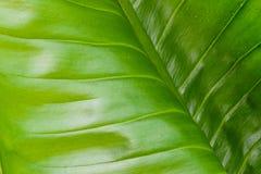 Struttura verde del foglio Fotografie Stock Libere da Diritti