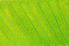 Struttura verde del foglio Immagine Stock Libera da Diritti