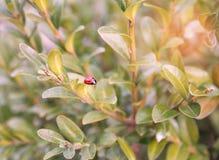 Struttura verde del foglio LadyBug [02] Fotografie Stock Libere da Diritti