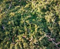 Struttura verde del fondo del muschio bella Fotografie Stock