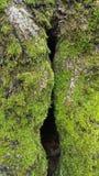 Struttura verde del muschio immagine stock