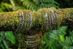 Struttura verde del muschio sul morsetto con la vecchia superficie di legno del recinto della palizzata Immagini Stock