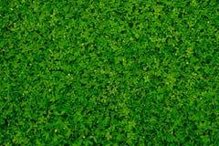 struttura verde dell'arachide del pinto immagine stock