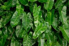 Struttura verde dell'edera della foglia Fotografie Stock