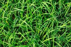 Struttura verde della risaia Immagine Stock