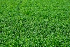 Struttura verde della risaia Immagine Stock Libera da Diritti