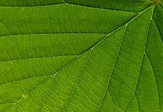 Struttura verde della vena della foglia Fotografia Stock