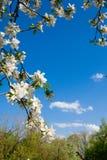 Struttura verticale dei rami della mela e del cielo blu sboccianti Fotografia Stock