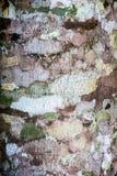 Strutture della corteccia di albero Fotografia Stock Libera da Diritti