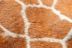 Strutture della pelliccia della giraffa Immagine Stock Libera da Diritti