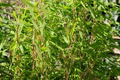 Strutture di una pianta di bambù verde fresca Fotografia Stock