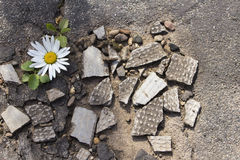 Strutturi la camomilla sulle rocce e sul materiale di tetto Fotografia Stock Libera da Diritti