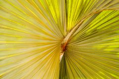 Strutturi la pianta gialla e verde, con gli strati ondulati del volume, con il centro tridimensionale dentro, un fiore esotico ch Fotografia Stock Libera da Diritti