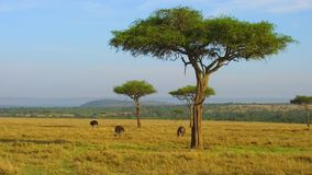 Struzzi ed alberi dell'acacia in savanna all'Africa video d archivio