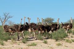 Struzzi in habitat naturale - Sudafrica Fotografie Stock Libere da Diritti
