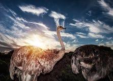 Struzzi in natura selvaggia Fotografia Stock