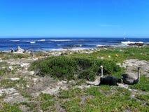 Struzzi sulla costa atlantica Immagini Stock Libere da Diritti