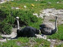 Struzzi sulla costa atlantica Immagine Stock Libera da Diritti