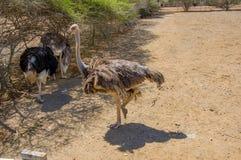 Struzzo africano curioso che cammina all'azienda agricola dello struzzo Immagini Stock