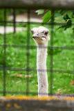 Struzzo allo zoo Fotografia Stock Libera da Diritti