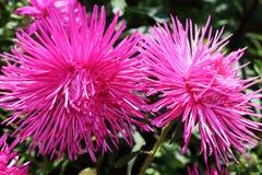 Struzzo alto Plume Mixed Flower dell'aster rosa due immagine stock libera da diritti
