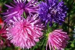 Struzzo Aster-alto Plume Mixed Flower fotografie stock libere da diritti