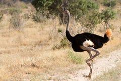 Struzzo che sta sulla savana africana su fondo di erba alta Immagine Stock Libera da Diritti