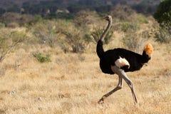Struzzo che sta sulla savana africana su fondo di erba alta Fotografie Stock Libere da Diritti