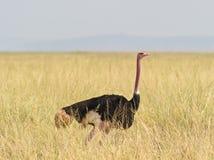 Struzzo comune nella savanna keniana Immagine Stock Libera da Diritti
