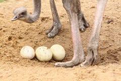 Struzzo con le uova Fotografia Stock Libera da Diritti