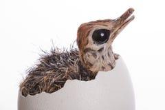 Struzzo del bambino in uovo Fotografia Stock