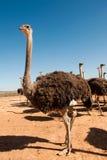 Struzzo della Sudafrica immagini stock libere da diritti