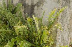Struzzo Fern Cluster fotografie stock libere da diritti