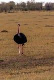 Struzzo in masai Mara Immagini Stock