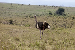 Struzzo nel Kenya Immagine Stock