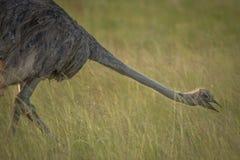 Struzzo nel selvaggio in Kwazulu Natal Immagini Stock Libere da Diritti